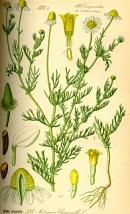 Kamille / Matricaria chamomilla