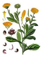 Fränkische Kräuter - die Ringelblume